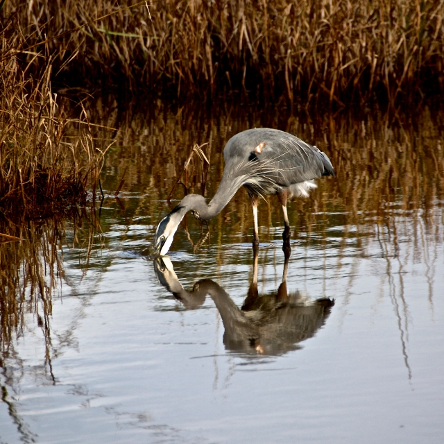 Heron at Assateague