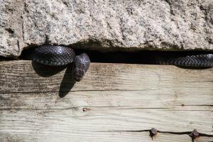A Snake Among the Ruins