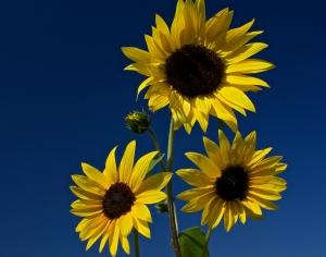 Tres Flora