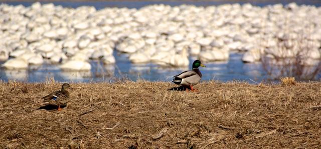 Duck, Duck, Geese