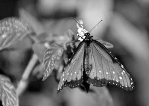Sweet Nectar in B&W