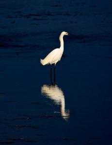 Snowy Egret III