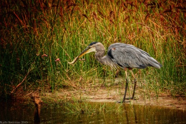 Great Blue Heron III