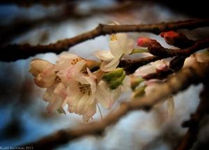 December Blossoms I