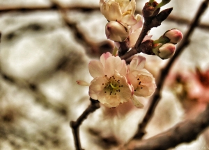 December Blossoms II
