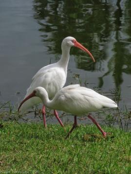 Exploring White Ibis