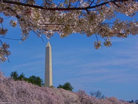 A Capital Cherry Blossom I
