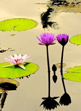 spotlight on lilies I