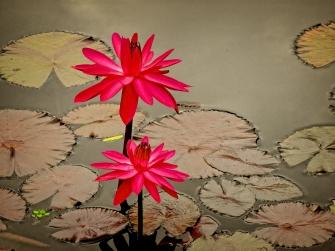 spotlight on lilies